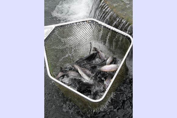 epuisette-poissons-fretillants